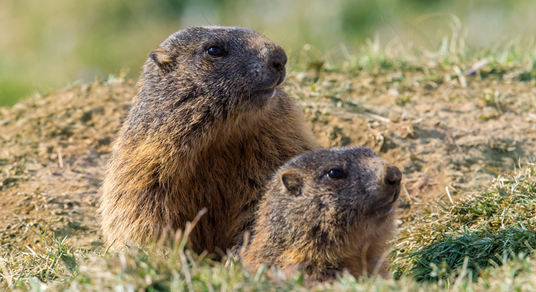 Groundhogs in burrow